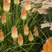 kniphofia_hot_and_cold_apj19_2.jpg