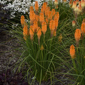 kniphofia_orange_blaze_apj19_6.jpg