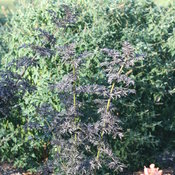 laced_up_elderberry_plant_landscape3.jpg
