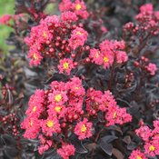 Center Stage® Pink - Crapemyrtle - Lagerstroemia indica