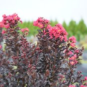 lagerstroemia-center-stage-pink-2.jpg