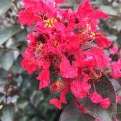 Rikki Tikki® Rouge - Crapemyrtle - Lagerstroemia indica