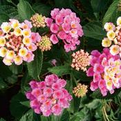 lantana-bandanna-pink-5627_7.jpg