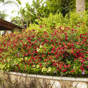 Luscious® Berry Blend Lantana in Landscape