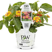 lantana_luscious_berry_blend_pw_4in.jpg