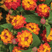 Lantana Luscious Citrus Blend Improved