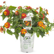 lantana_luscious_citrus_blend_improved_grande.jpg