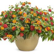 lantana_luscious_citrus_blend_improved_mono.jpg