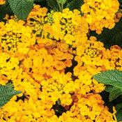 Luscious® Goldengate™ - Lantana camara