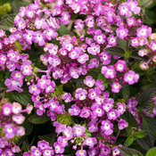 lantana_luscious_grape.jpg