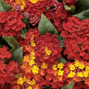 Luscious® Royale Red Zone™ - Lantana camara