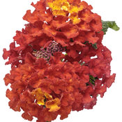 lantana_luscious_royale_red_zone_macro_03.jpg