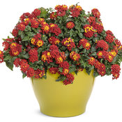 lantana_luscious_royale_red_zone_mono.jpg