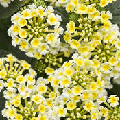 lantana_yellow-white.jpg