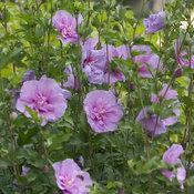 Lavender Chiffon hibiscus