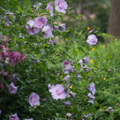 lavender_chiffon_hibiscus-9429.jpg