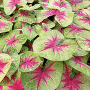 Heart to Heart™ 'Lemon Blush' - Fancy Caladium - Caladium hortulanum
