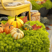 lemon_coral_in_fall_34.jpg