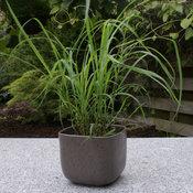 lemongrass_cymbopogon_14her-7963.jpg