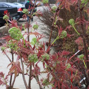 lemony_lace_sambucus_spring_growth.jpg