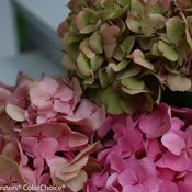 Let's Dance Big Easy Hydrangea