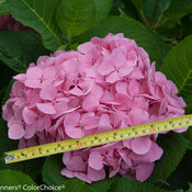 lets_dance_big_easy_hydrangea-5.jpg