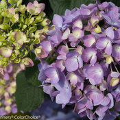 lets_dance_moonlight_hydrangea-3.jpg