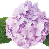 lets_dance_moonlight_hydrangea.jpg