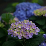 lets_dance_rhythmic_blue_hydrangea-3.jpg