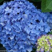 Let's Dance® Rhythmic Blue® - Reblooming Hydrangea - Hydrangea macrophylla
