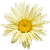 leucanthemum_banana_cream_01_0.jpg