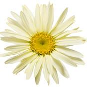 leucanthemum_banana_cream_02.jpg