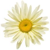 leucanthemum_banana_cream_03.jpg