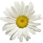 leucanthemum_daisy_may_03.jpg