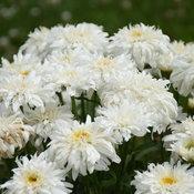leucanthemum_marshmallow_cjw19_11.jpg