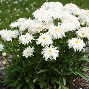 leucanthemum_marshmallow_cjw19_8.jpg