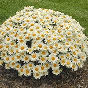 leucanthemum_whoops_a_daisy_cjw13_cjw13.jpg