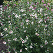 lil_kim_hibiscus-4.jpg