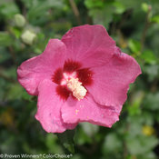 Lil' Kim® Red - Rose of Sharon - Hibiscus syriacus