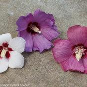 lil_kim_red_hibiscus-2.jpg