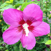 Lil' Kim® Violet - Rose of Sharon - Hibiscus syriacus