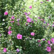 lil_kim_violet_hibiscus-4018.jpg