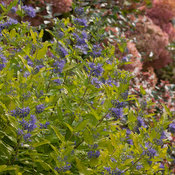 lil_miss_sunshine_caryopteris-3760.jpg