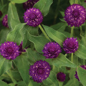 Lil' Forest™ Plum - Bachelor Button - Gomphrena hybrid