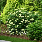 Lime Rickey® - Smooth hydrangea - Hydrangea arborescens