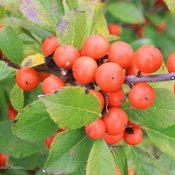 little_goblin_orange_winterberry_holly.jpg
