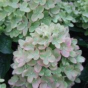 Little Lime® - Panicle Hydrangea - Hydrangea paniculata