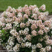 little_quick_fire_hydrangea-3282.jpg