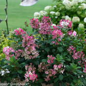 little_quick_fire_hydrangea-3546.jpg