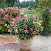 little_quick_fire_hydrangea-3614.jpg